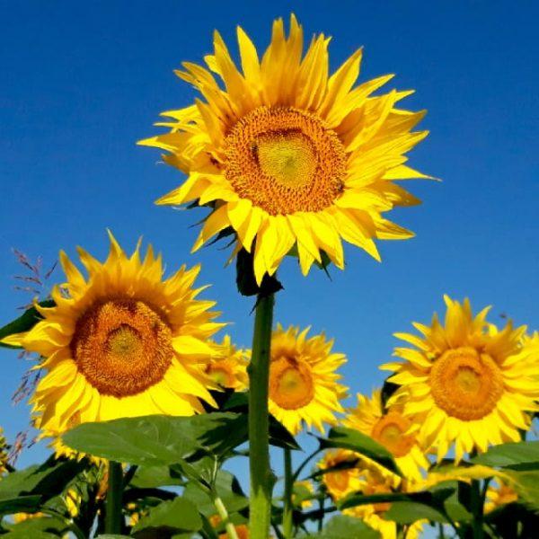 Beautiful Yellow Sunflower Field (Turbo Premium Space)