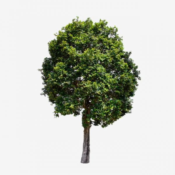 Isolated Trees On White Background Collection Of Trees (Turbo Premium Space)