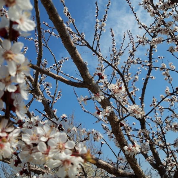 Plum Tree Blooming With White Flower Natural Scenery (Turbo Premium Space)